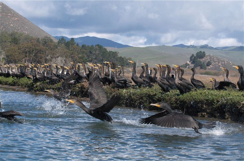 Double Crested Cormorants (Phalacrocorax auritus)