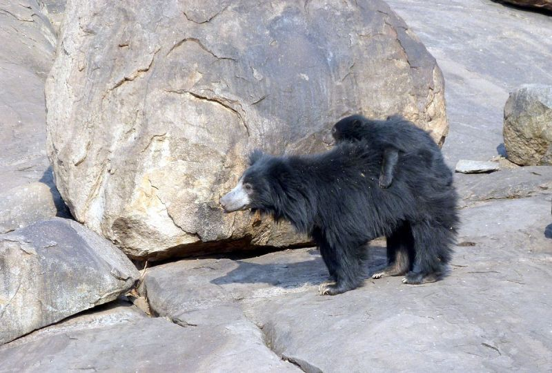 Sloth Bear photo