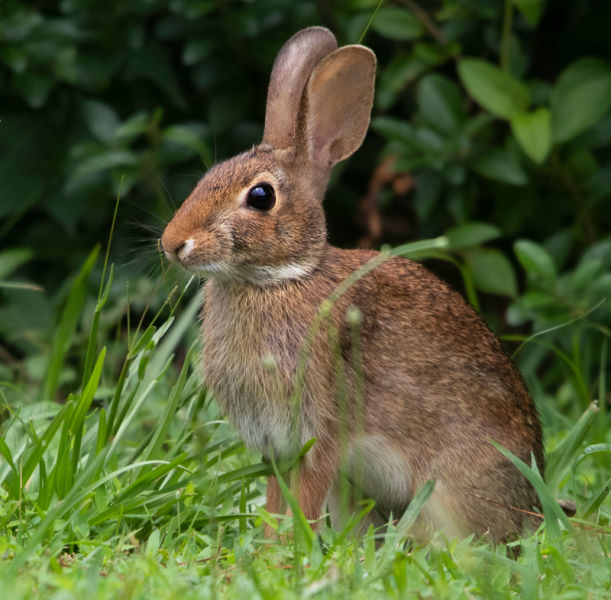 Eastern Cottontail rabbit - Virginia