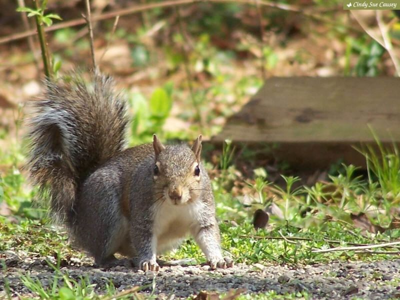 Eastern Gray Squirrel Facing Photographer