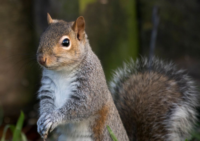 eastern grey squirrel - Virginia