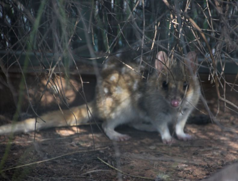 Eastern quoll at Kyabram Fauna Reserve