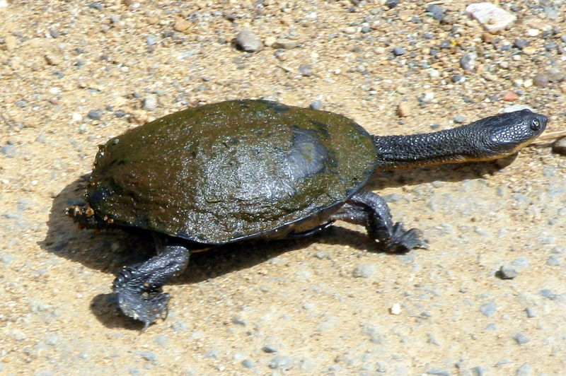 Eastern Snake-necked Turtle