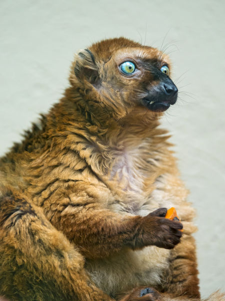 Eating female Sclaters lemur
