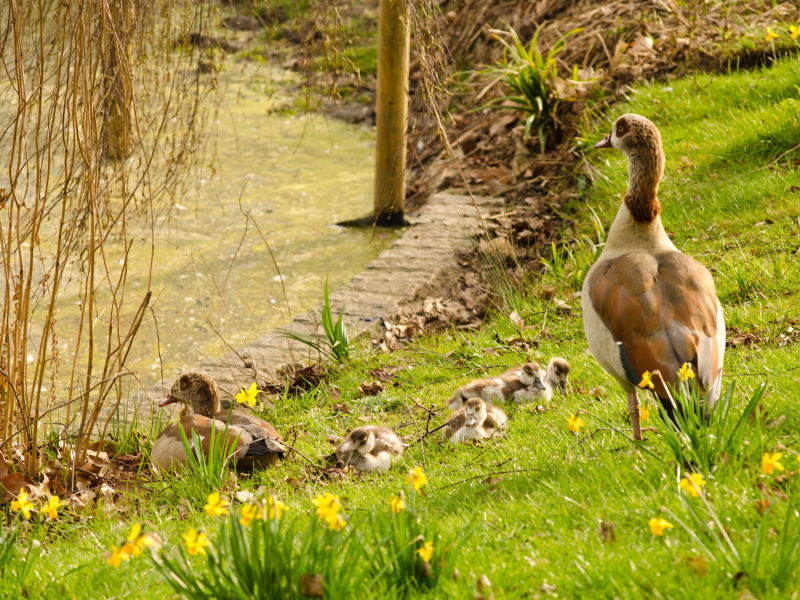 Egyptian Geese and Chicks