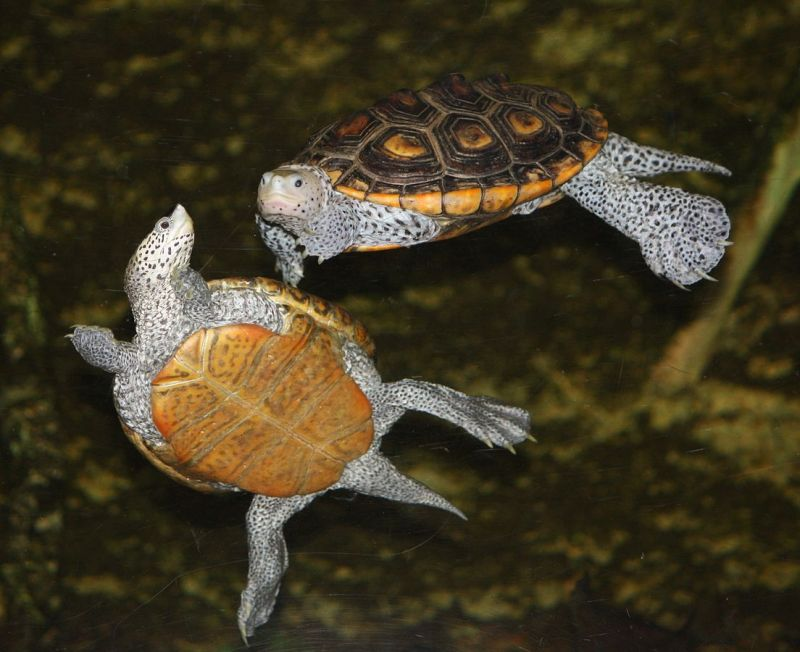 Diamondback Terrapin photo