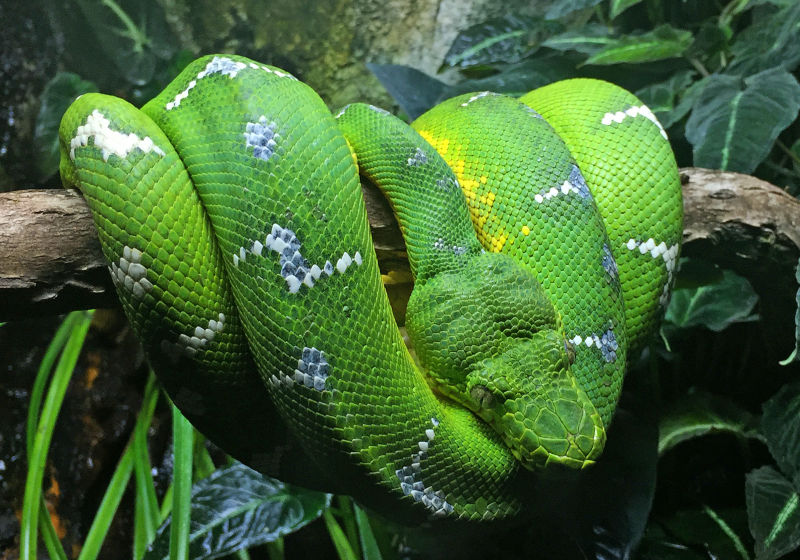 Emerald Tree Boa - Corallus caninus, Baltimore Aquarium, Baltimore, Maryland