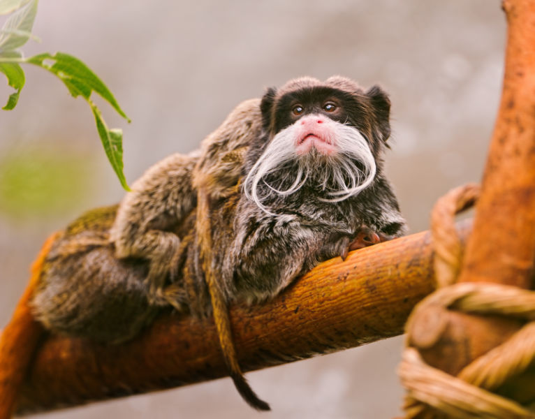 Emperor tamarin on the branch