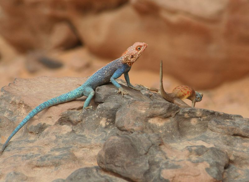 Red-Headed Rock Agama photo