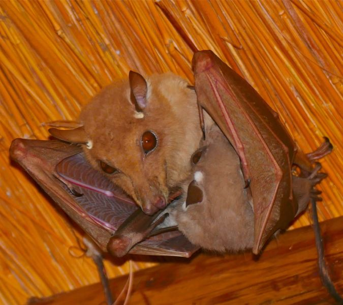 Epauletted Fruit Bats (Epomophorus sp.) female and young ...
