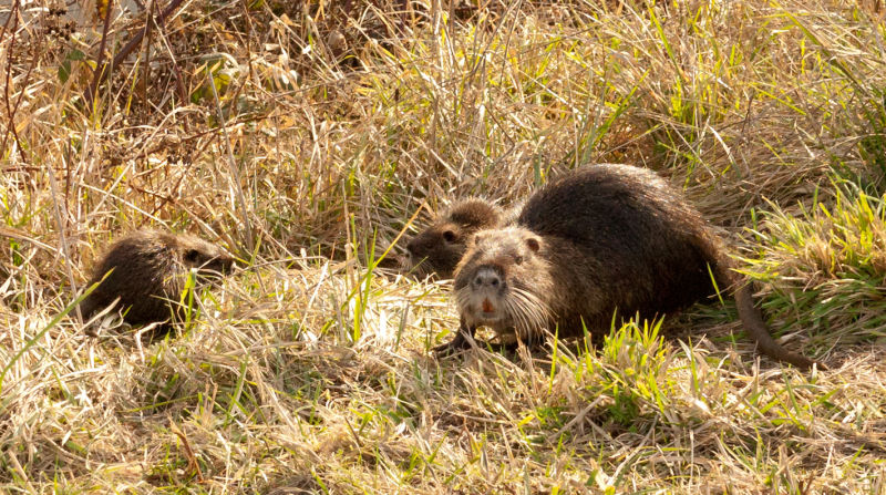 Family of Nutria