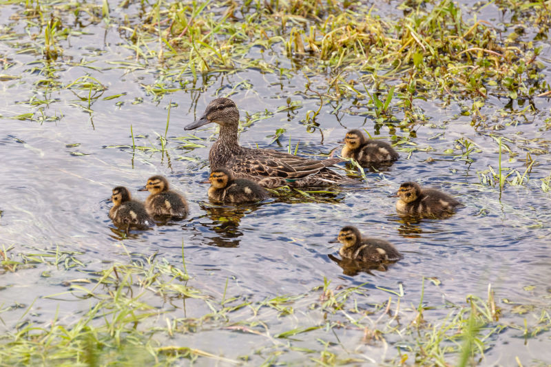 Female green-winged teal and ducklings