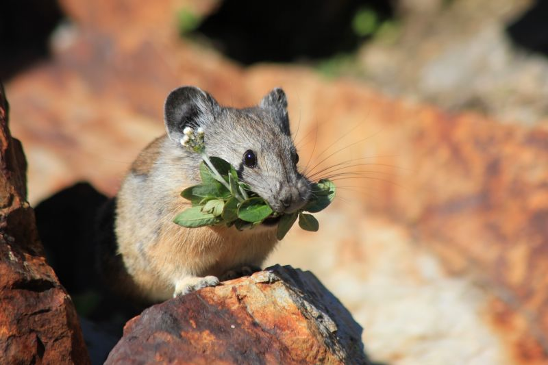 Field Mouse eating Clover, Wallowa-Whitman National Forest