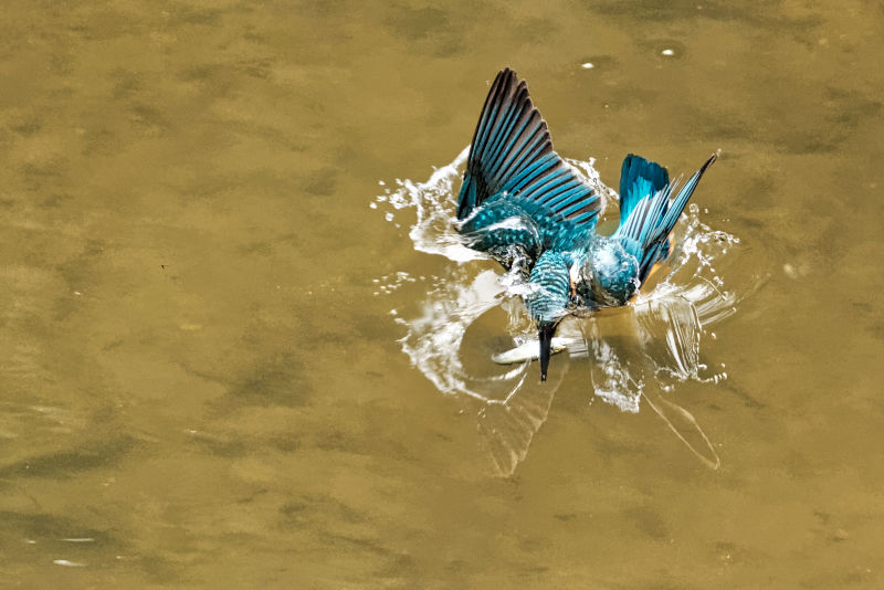 Fishing Common Kingfisher