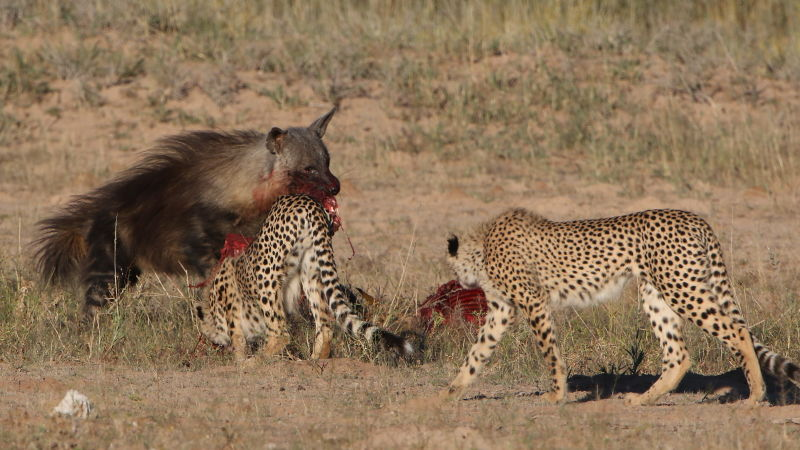 Five cheetahs were feeding on a Springbok kill one morning in th