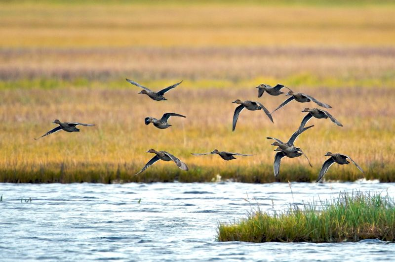 Flying Pintails