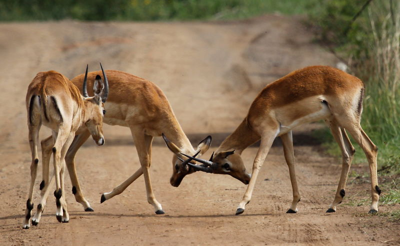 Four impala males in a contest of horns, Aepyceros melampus at Pilanesberg National Park, South Africa