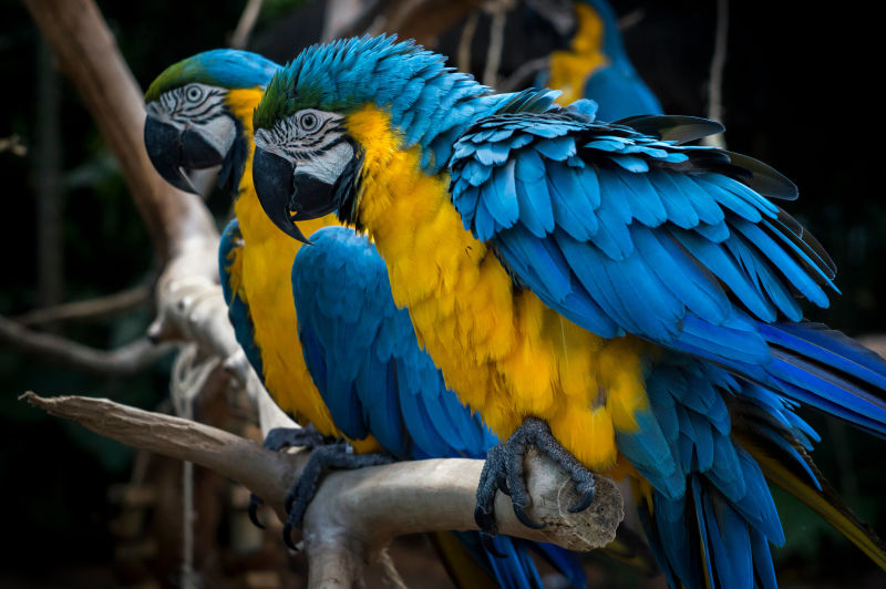Foz do Iguaçú - Parque das Aves / Foz do Iguaçu - Bird's Park - Arara-Canindé (Ara Ararauna) / Blue-and-yellow macaw or Blue-and-gold Macaw
