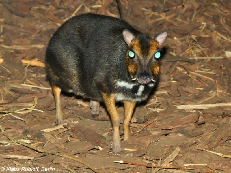 Philippine Mouse-Deer photo
