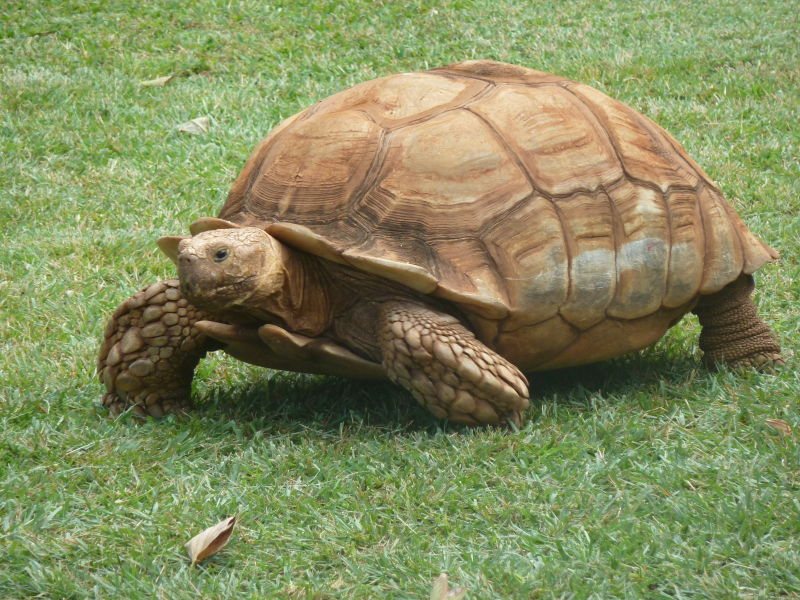 African Spurred Tortoise - Facts, Diet, Habitat & Pictures on