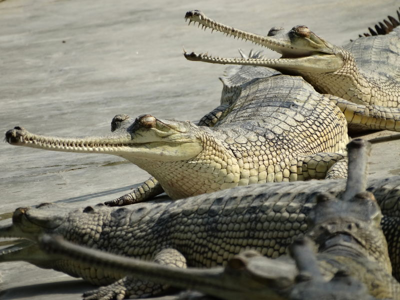 Gharial Crocodiles - Conservation Breeding Center - Kasara - Chitwan National Park - Nepal - 02