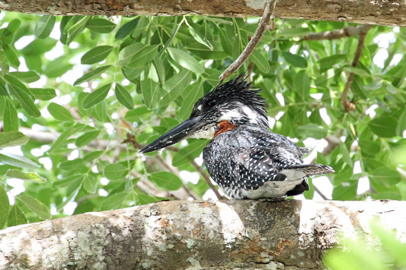 Giant Kingfisher, Gambia april 2015