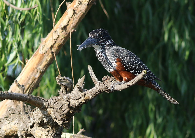 Giant Kingfisher, Megaceryle maxima at Rietvlei Nature Reserve, South Africa
