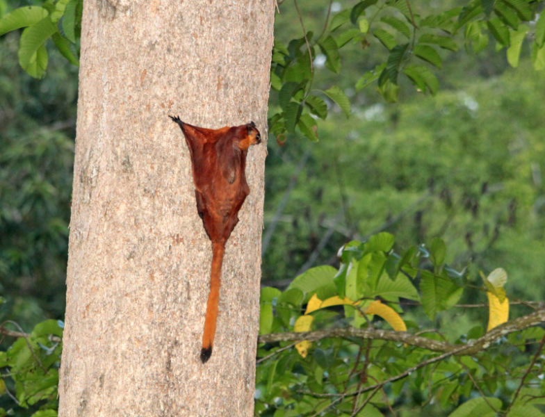 Giant Red Flying Squirrel