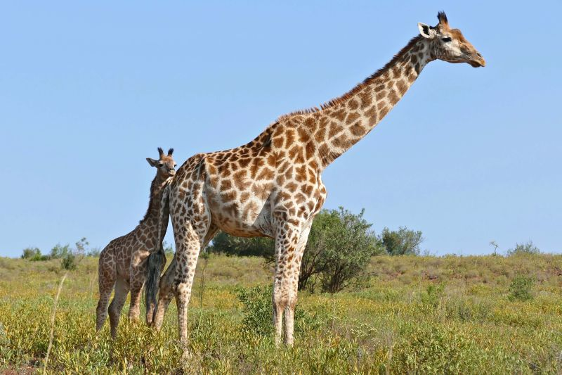Giraffes (Giraffa camelopardalis) female and young ...