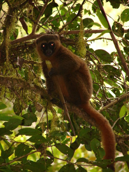 Golden Bamboo Lemur, Ranomafana National Park
