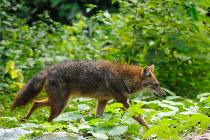 Golden Jackal, Canis aureus in Kaeng Krachan national park