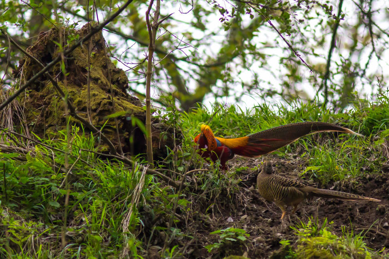Golden Pheasant, courtship display, Tangjiahe Nature Reserve, Sichuan, China