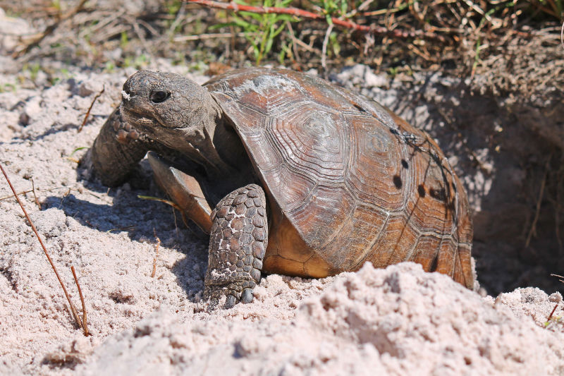 Gopher tortoise at its burrow entrance