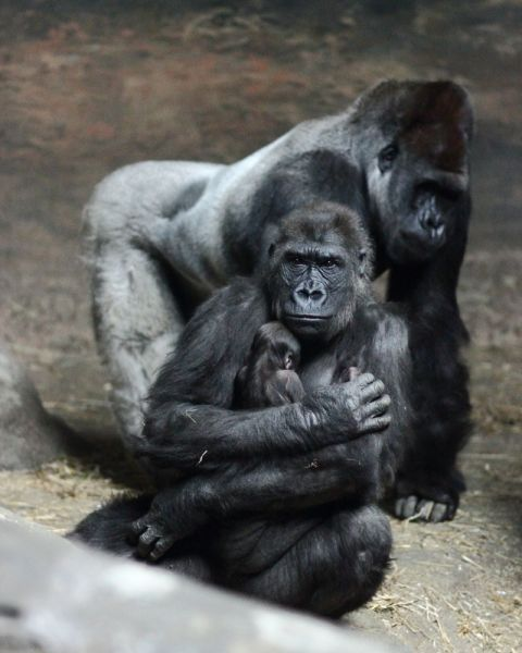 Gorilla family portrait 3