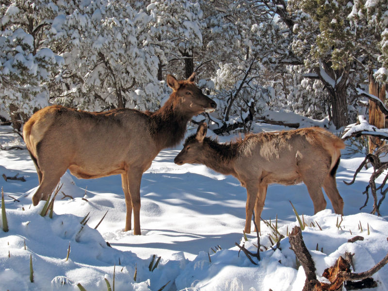 Grand Canyon Nat Park: Elk Cow with Calf in Winter: 1796