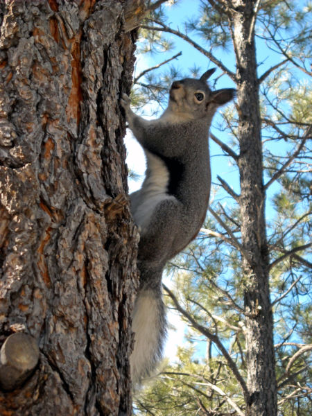 Grand Canyon National Park: South Rim - Abert's Squirrel