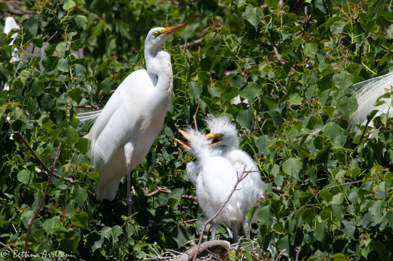 Great Egret ( adullt & immature) | Smith Oaks | High Island | TX|2018-04-17|12-50-01.jpg