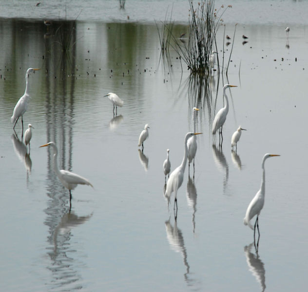 Great Egrets amongst Snowy Egrets