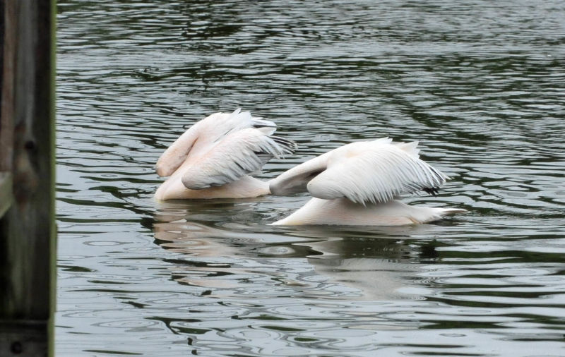 Great White Pelicans (Pelecanus onocrotalus)