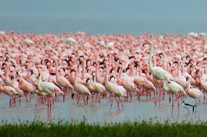 Greater flamingo amongst Lesser Flamingo's