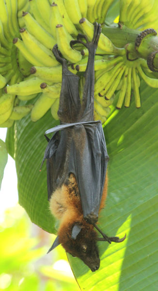 Greater Indian fruit bat @ Kanjirappally