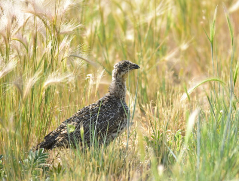 Greater sage-grouse on Seedskadee National Wildlife Refuge
