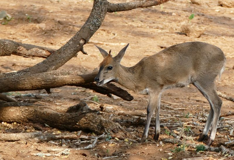 Grey Duiker (Sylvicapra grimmia) young male