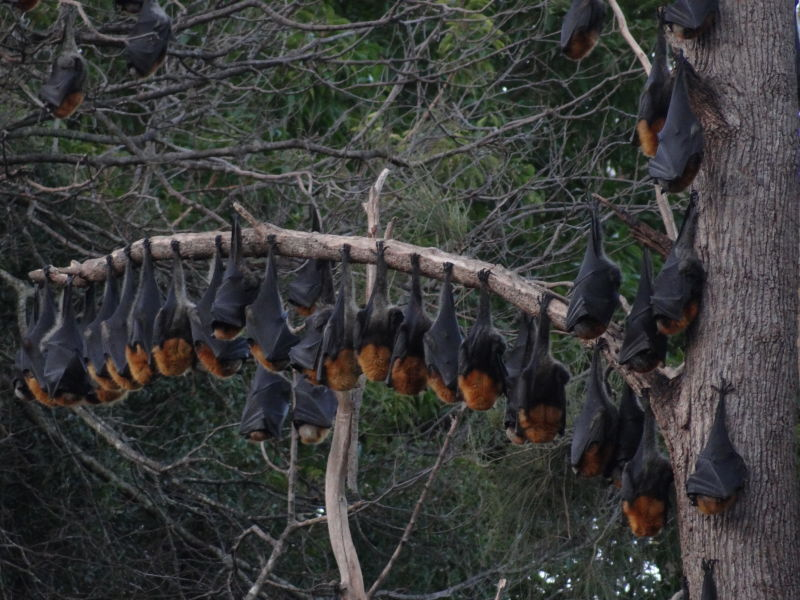 Grey-headed flying fox-Pteropus poliocephalus