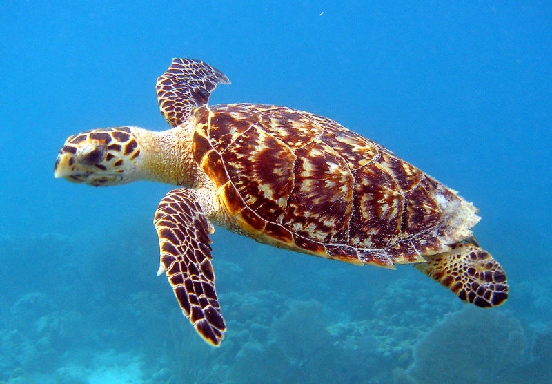 Hawksbill Sea Turtle/ Carey de Concha