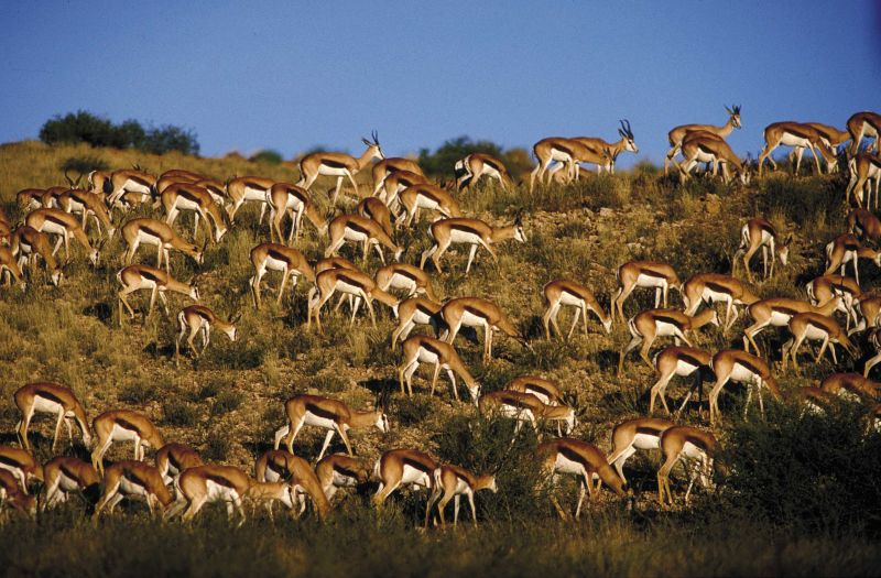 Herd of Springbok - South Africa