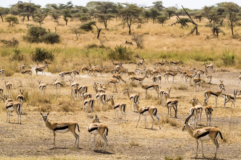 Herd of Thomson's Gazelles / Masai Mara / Kenya
