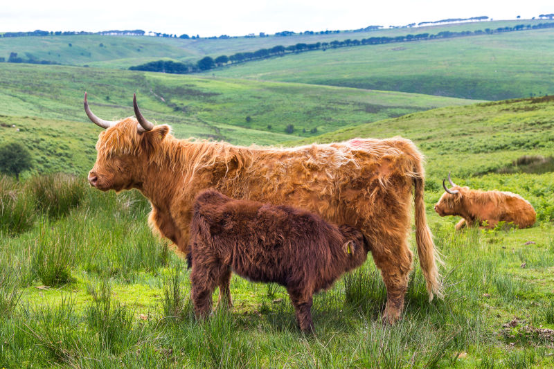 Highland Cattle_MG_4770