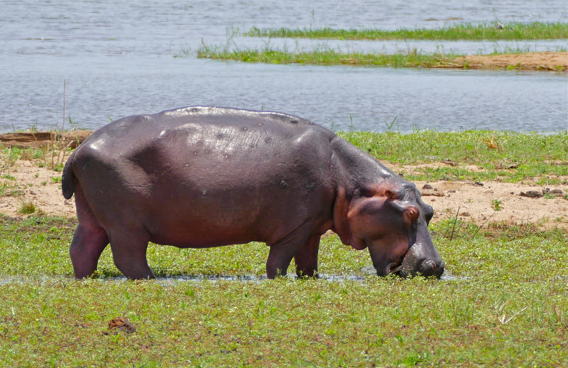 Hippo (Hippopotamus amphibius) emaciated specimen grazing on Sabie riverbank ...