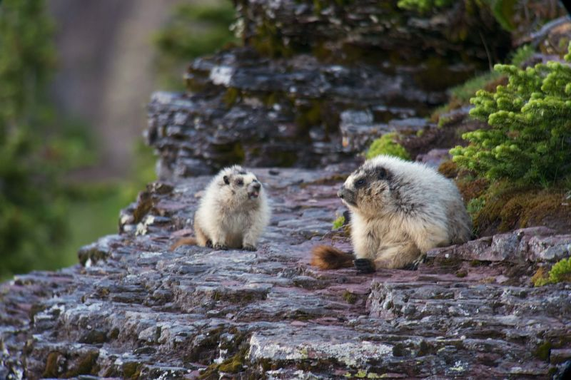 Hoary Marmots on Logan Pass
